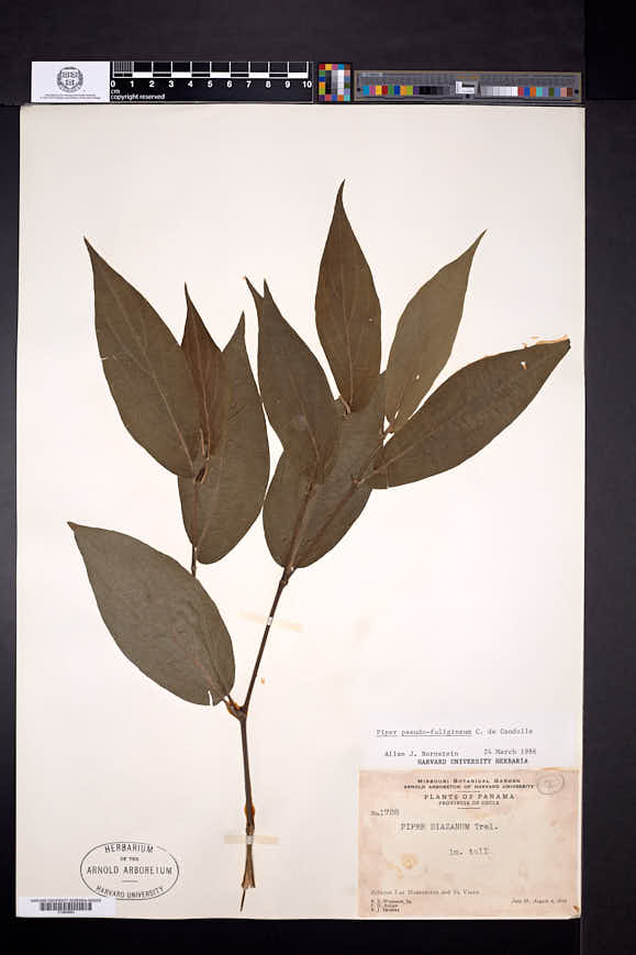 Piper pseudofuligineum image