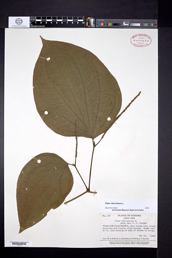 Piper reticulatum image