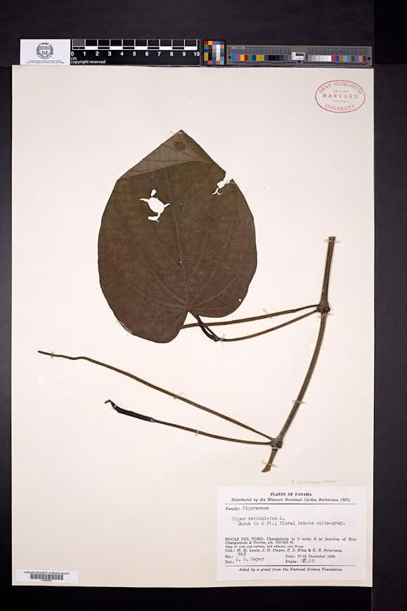 Piper schiedeanum image