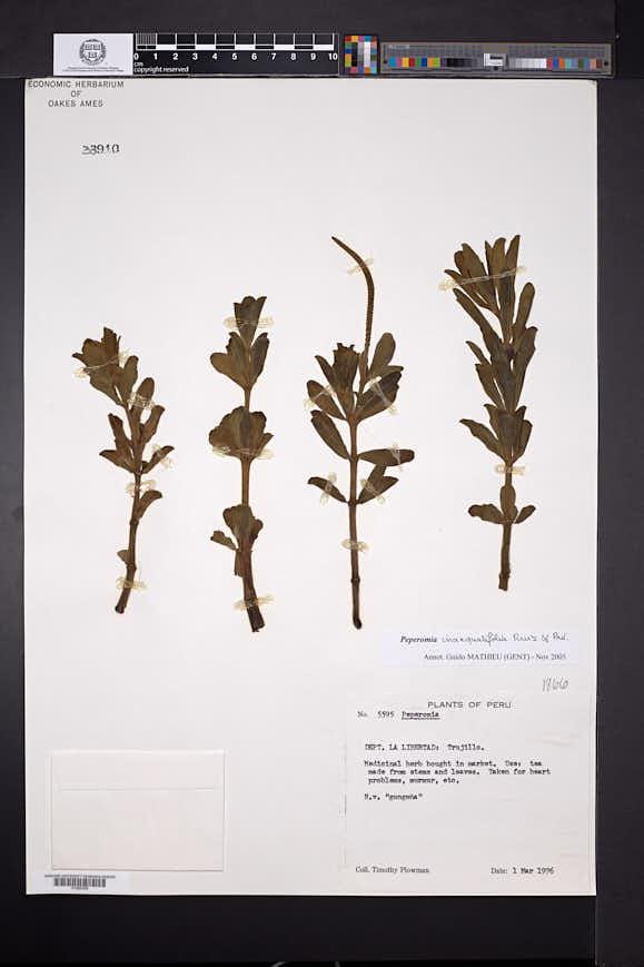 Peperomia inaequalifolia image