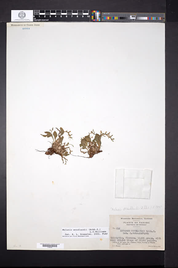 Malaxis wendlandii image