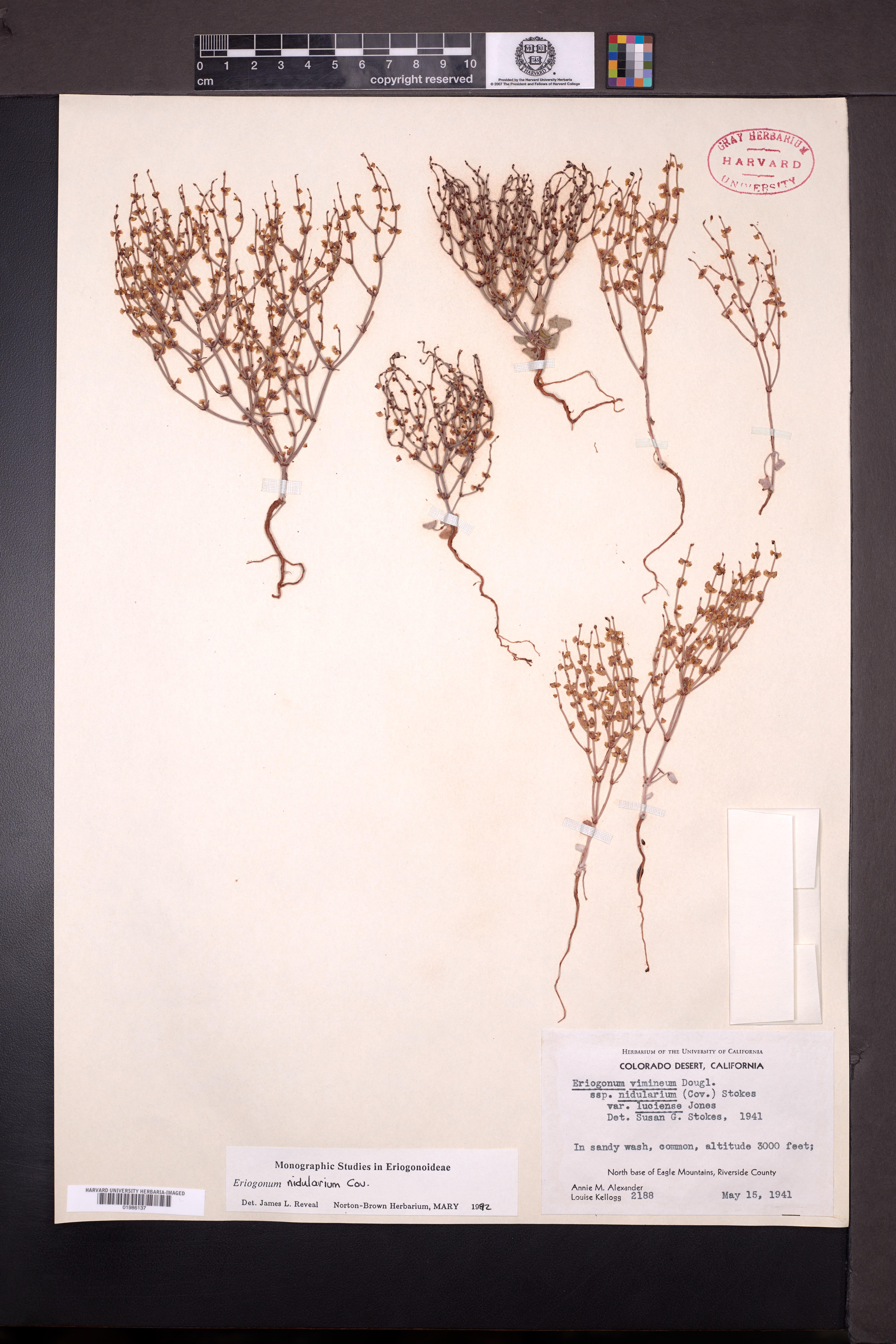 Eriogonum nidularium image