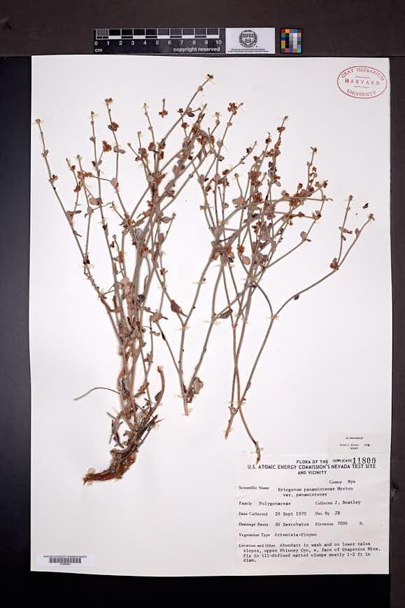 Eriogonum panamintense image