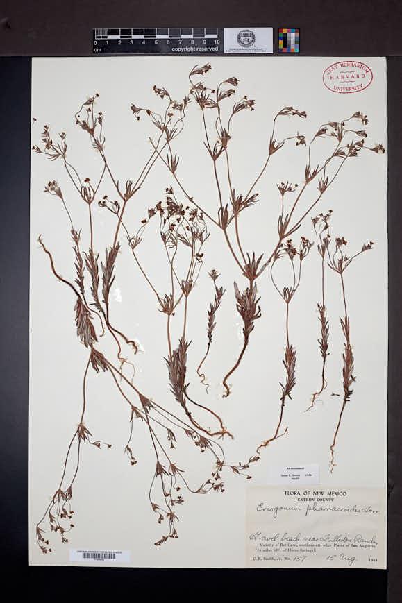 Eriogonum pharnaceoides image