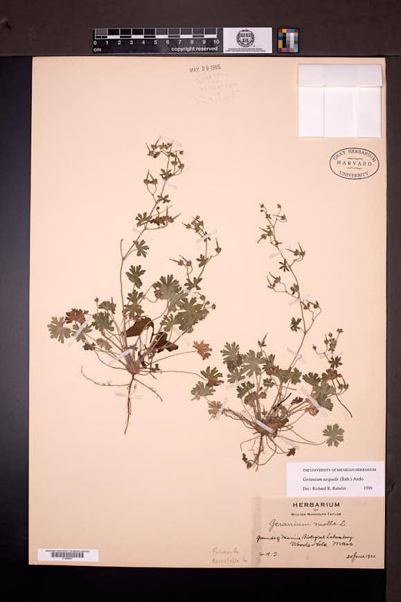 Geranium aequale image