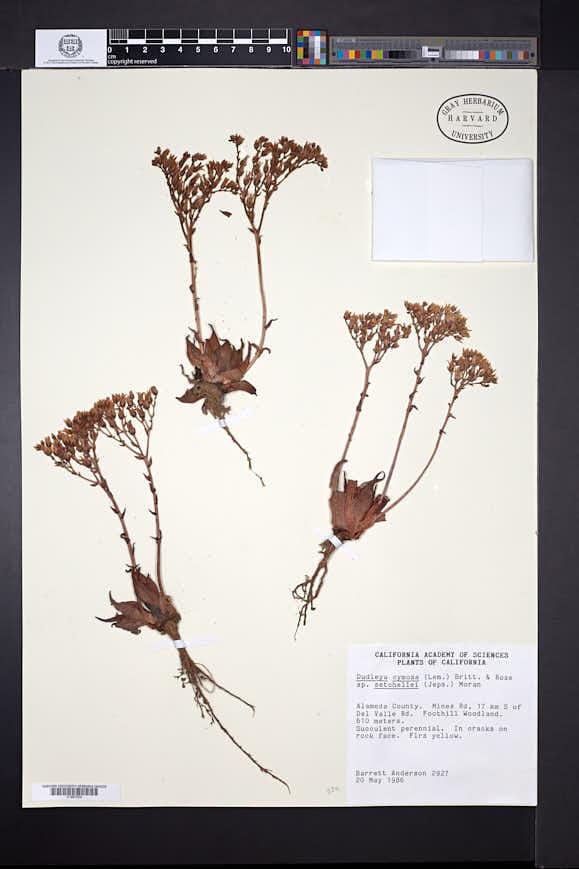 Image of Dudleya setchellii