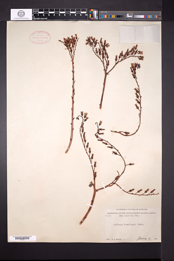 Image of Dudleya acuminata