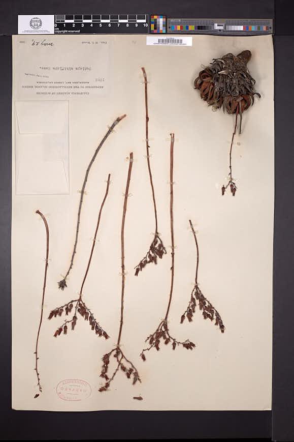 Image of Dudleya albiflora