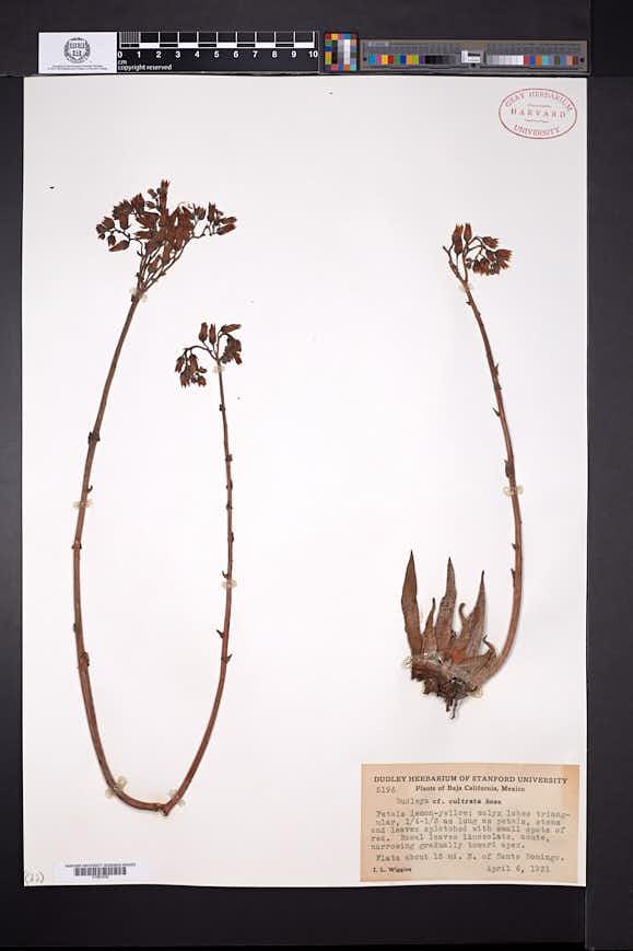 Image of Dudleya cultrata