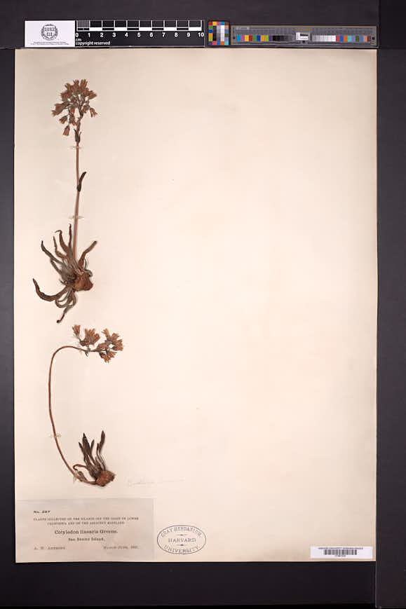 Image of Dudleya linearis