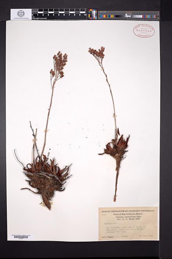 Image of Dudleya pauciflora