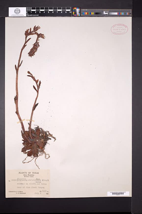 Echeveria strictiflora image