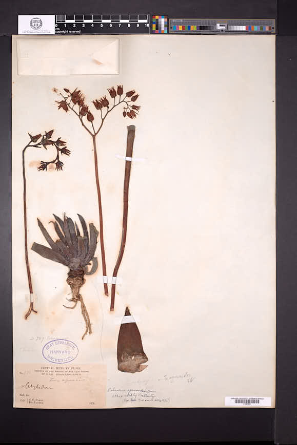 Echeveria agavoides image