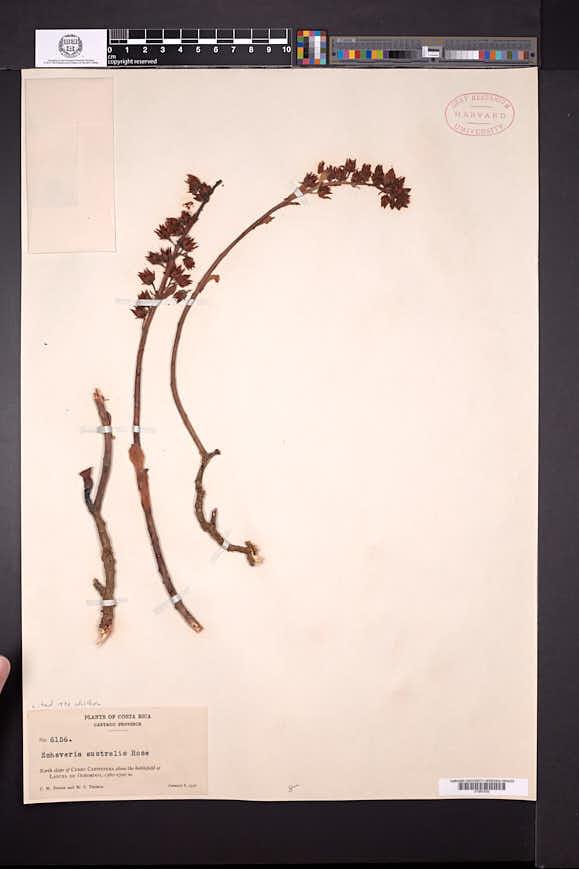 Image of Echeveria australis