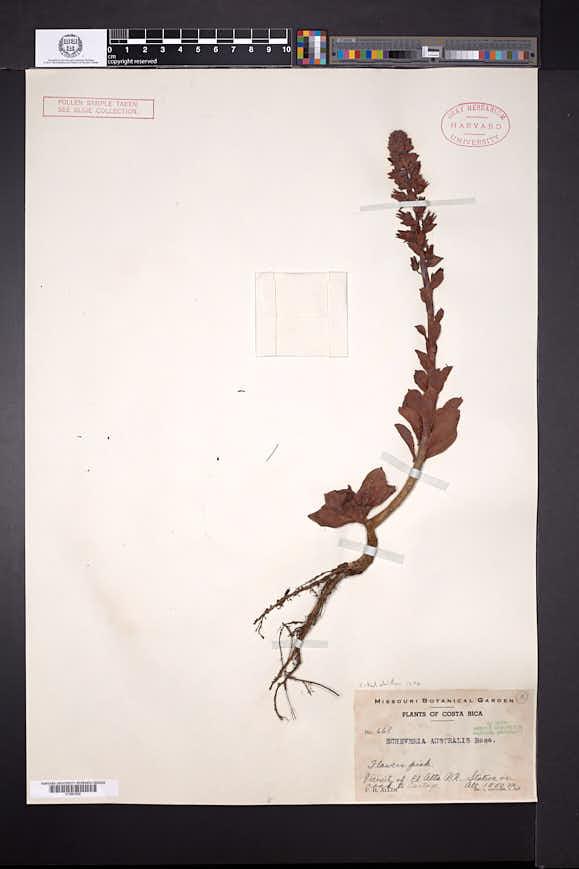 Echeveria australis image