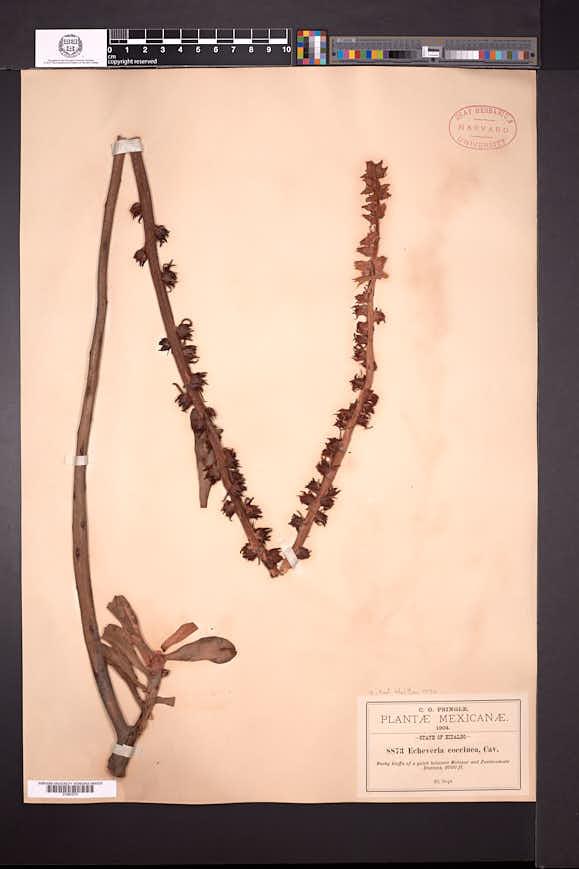 Echeveria coccinea image