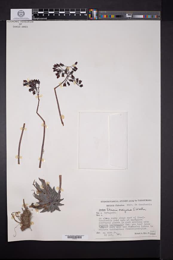 Image of Echeveria craigiana
