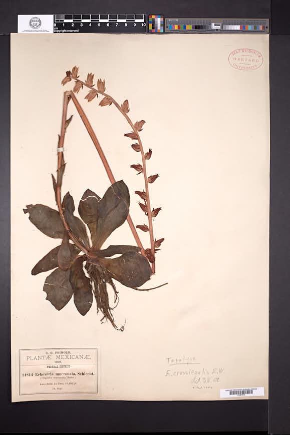 Echeveria crassicaulis image