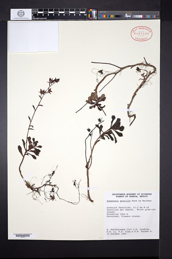 Image of Echeveria gracilis