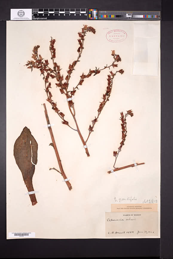 Image of Echeveria grandifolia