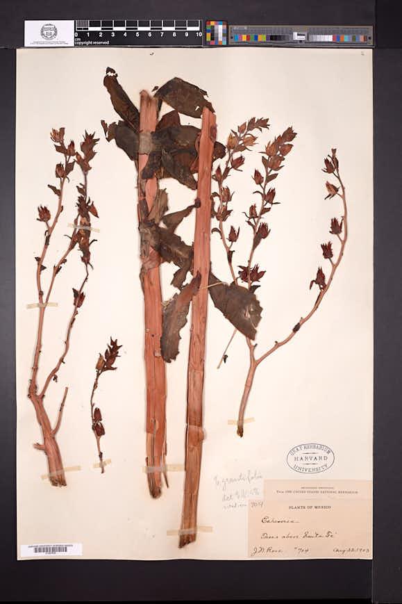 Echeveria grandifolia image