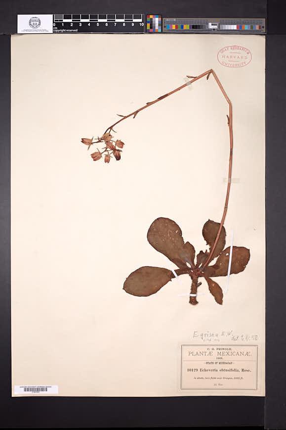 Image of Echeveria grisea