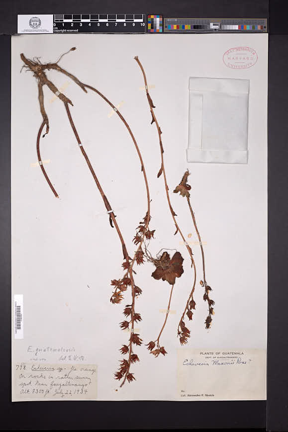 Image of Echeveria guatemalensis