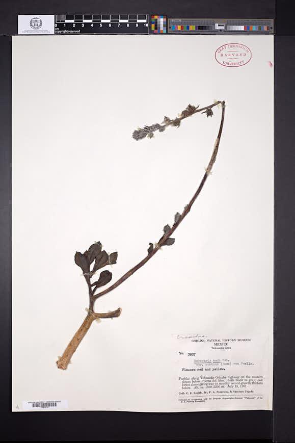 Echeveria montana image