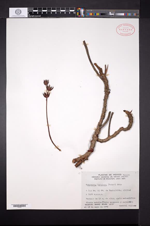 Image of Echeveria nodulosa