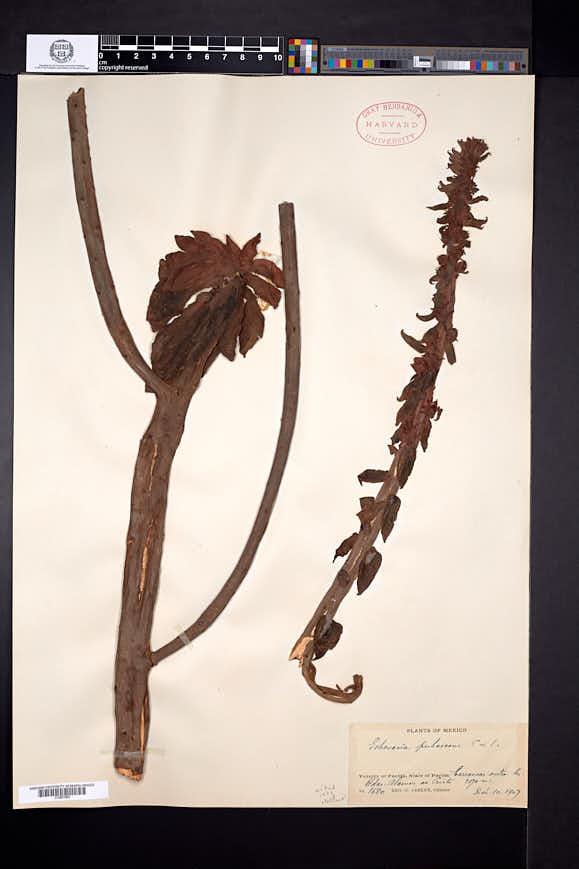 Echeveria pubescens image