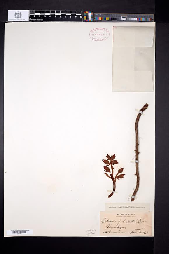 Echeveria pulvinata image