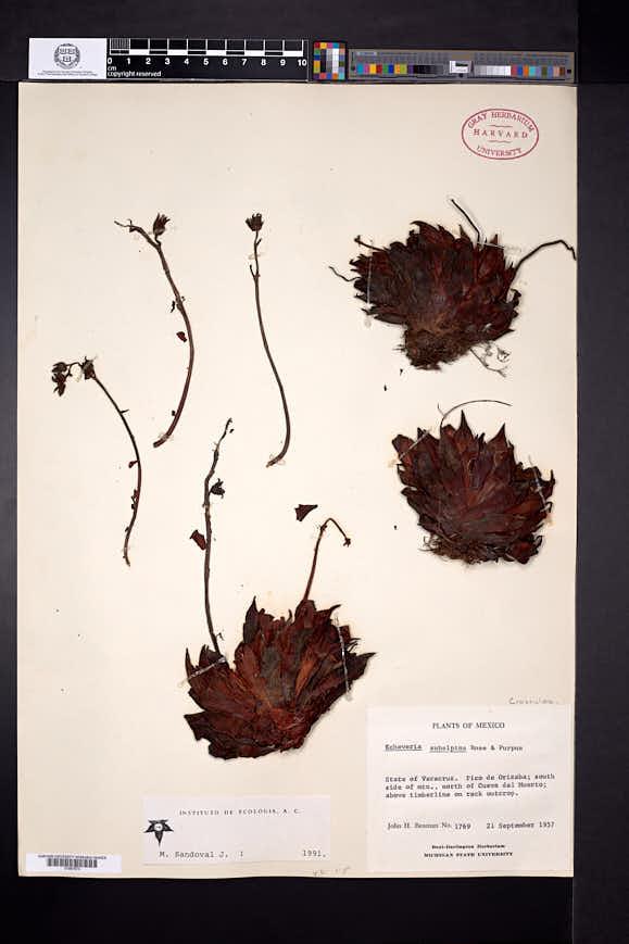 Image of Echeveria subalpina