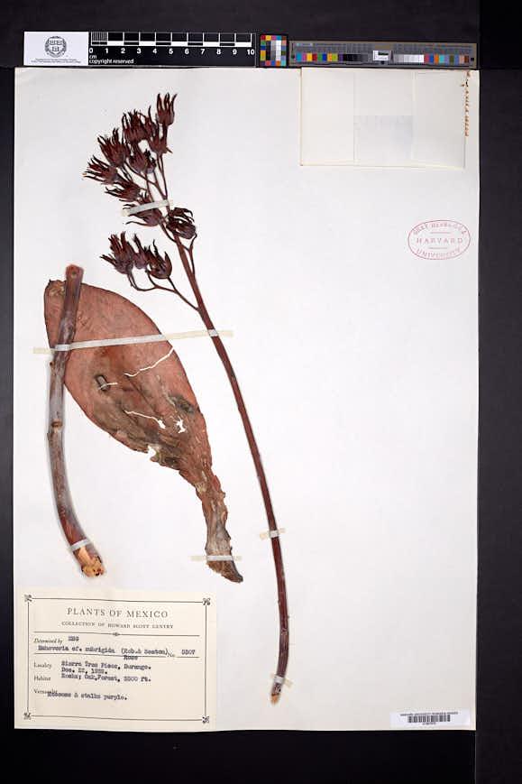 Echeveria subrigida image