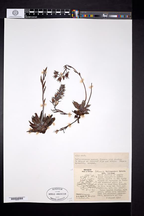 Image of Echeveria tolimanensis