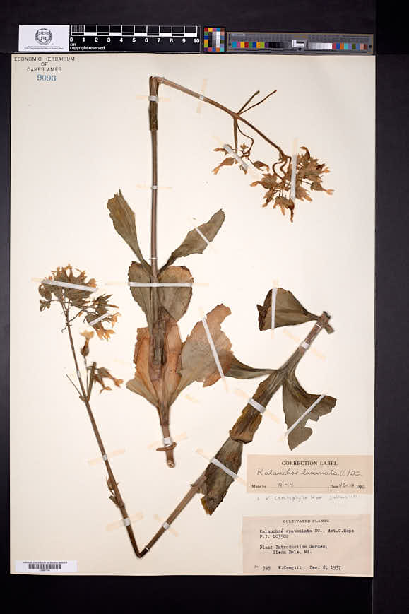 Image of Kalanchoe ceratophylla
