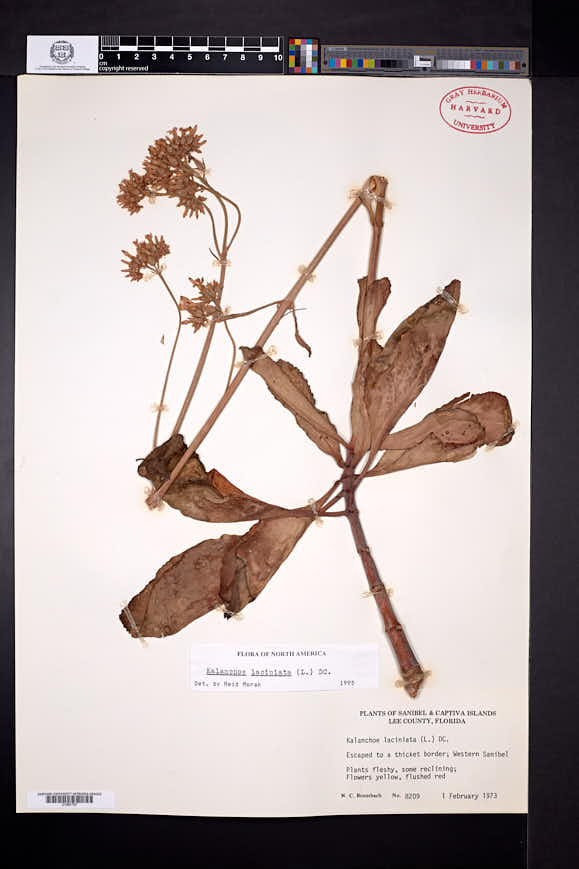 Image of Kalanchoe laciniata