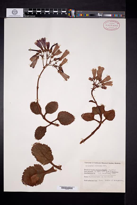 Image of Kalanchoe pubescens