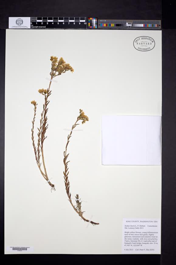 Image of Petrosedum orientale