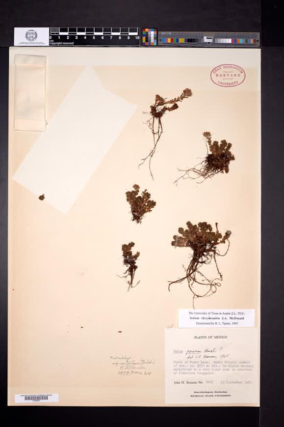 Image of Sedum chrysicaulum