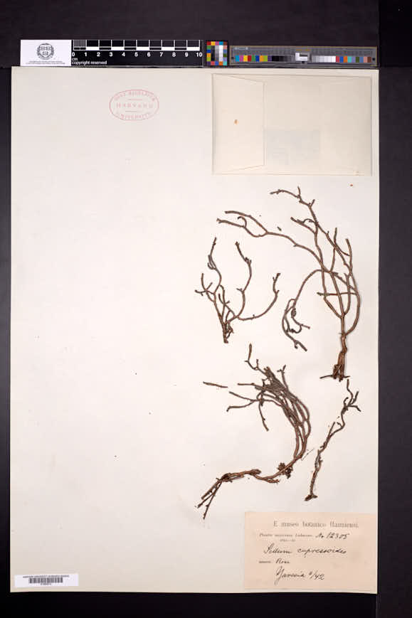 Image of Sedum cupressoides