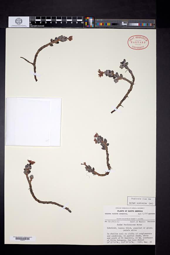 Image of Sedum furfuraceum