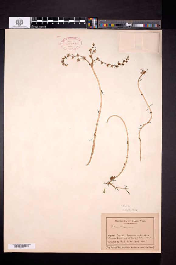 Sedum mexicanum image