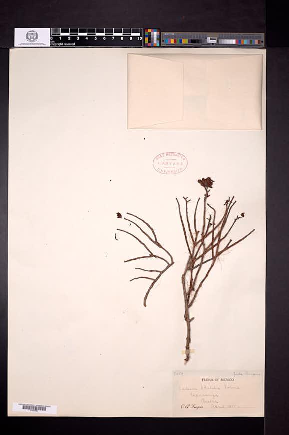 Image of Sedum stahlii
