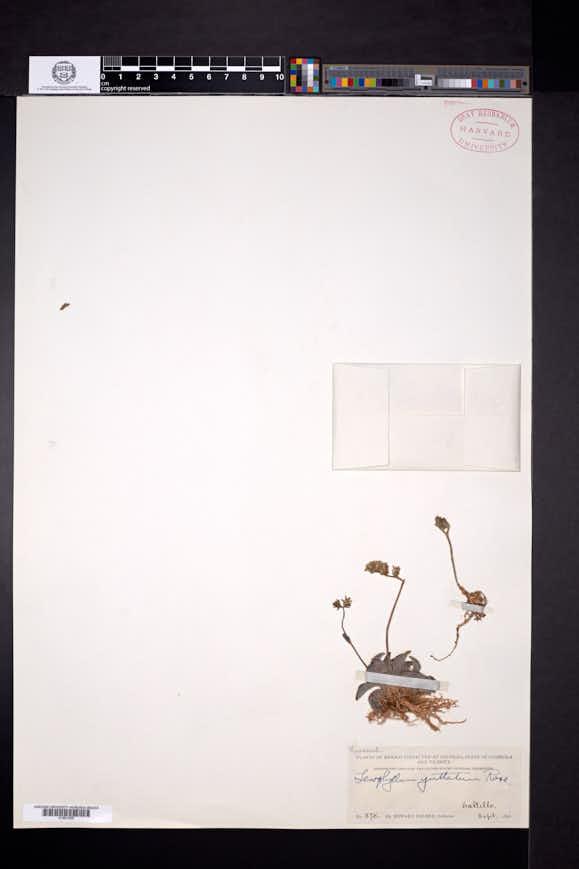 Image of Lenophyllum guttatum