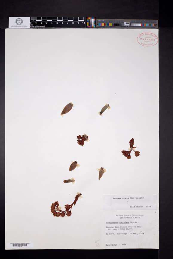 Image of Pachyphytum coeruleum
