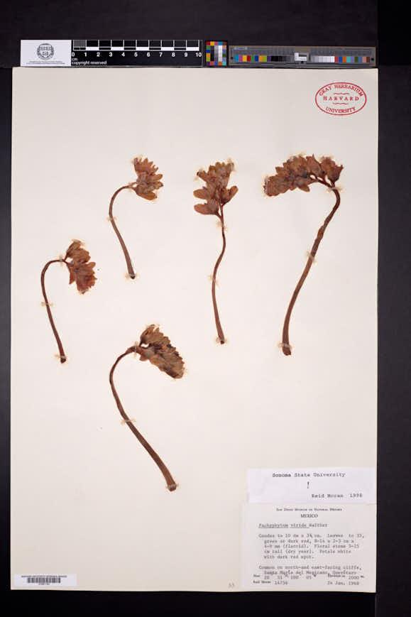 Image of Pachyphytum viride