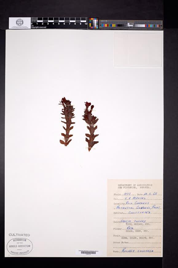 Image of Crassula coccinea