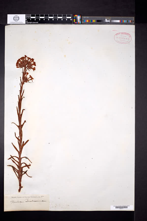 Crassula coccinea image