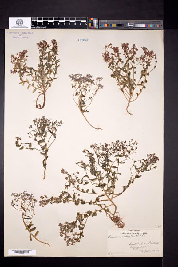 Sedum caeruleum image