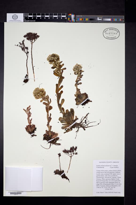 Image of Sedum oblanceolatum